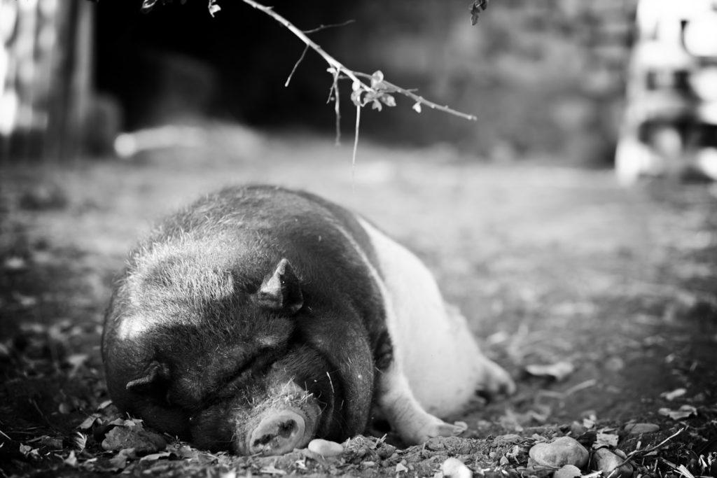 cochon de la presqu'île de real plantain